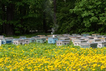 Beehives and flowering dandelions. Wooden bee houses.