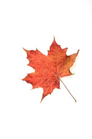 Autumn maple red leaf over a white background.. Top view. Copy space.