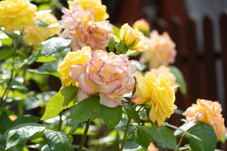 Bush of roses with buds of yellow and gently pink tint. A clear sunny summer morning and soft lighting. Selective focus. Perennial plants. Blooming roses. Banque d'images
