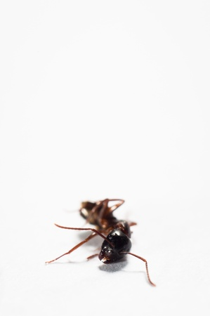 Dead ant against isolated white background photo