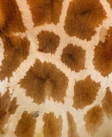 giraffe skin: Authentic animal wool texture