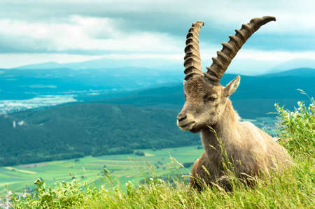 Wild animal (goat) against mountains photo