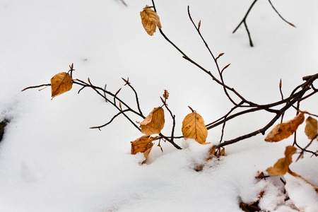 Yellow autumnal leaves with snow photo