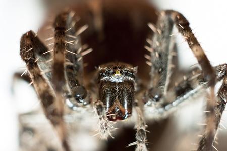 Big spider on isolated white background macro shot photo