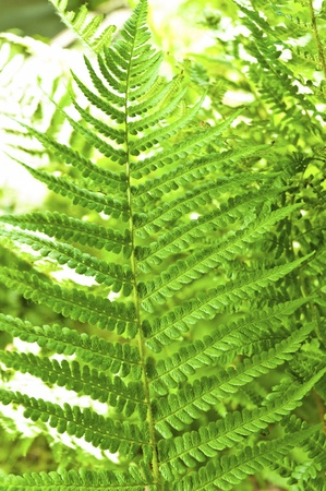 Young green fern with blurry background photo