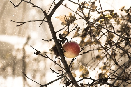 Frozen winter apple on a tree in snow and wind photo
