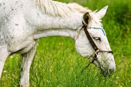 A white horse feeding outdoors photo