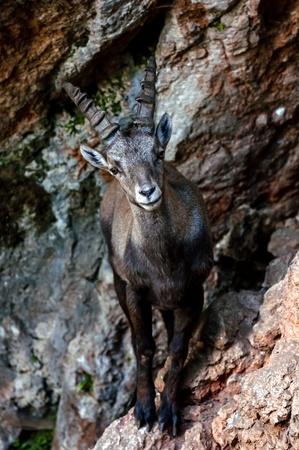 wild goat: Cabra salvaje en la ladera de la monta�a Foto de archivo