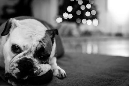 Young bulldog in studio in black and white photo