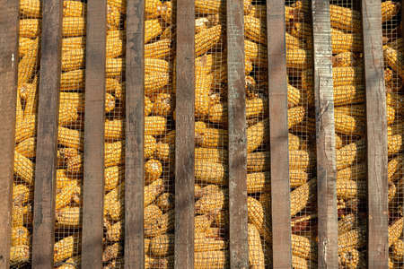 Large group of industrial corn for animals photo