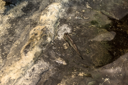mesogobius: Small Fish on the rocks closeup photo Stock Photo