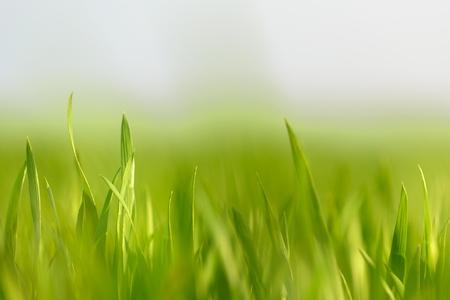 medow: Closeup photo of fresh green grass at spring Stock Photo