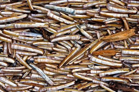 lots: Lots of seashells as a background texture closeup