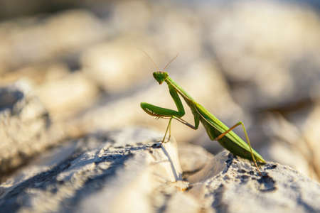 predatory insect: Macro photo of green praying  mantis on rocks Stock Photo