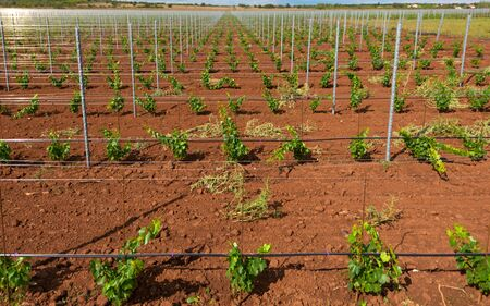 saplings: Large viticulture with lots of grape saplings Stock Photo