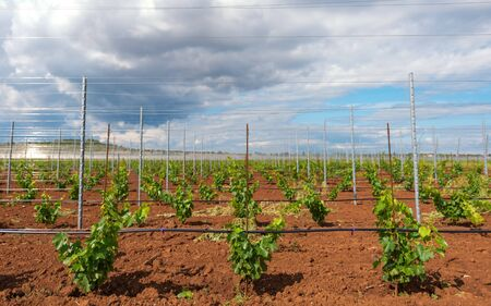 viticulture: Large viticulture with lots of grape saplings Stock Photo