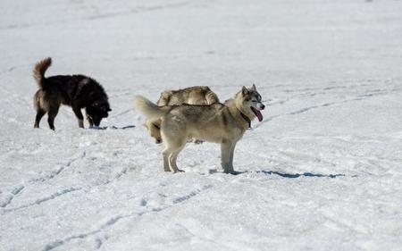 Siberian Huskies waiting in the snow closeup photo