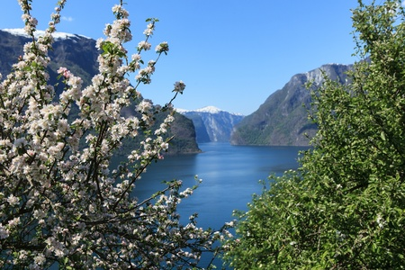 Flowering tree by Aurlandsfjord parish in the county  sogn og fjordane  in Norway 版權商用圖片
