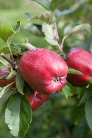 hardanger: ripe apples from Hardanger, an area in Norway, with fruit production
