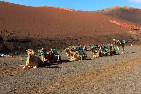 timanfaya: Camello en el Parque Nacional de Timanfaya en Lanzarote Foto de archivo