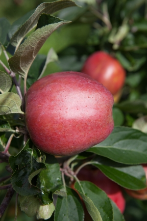 hardanger: ripe apples from Hardanger, an area in Norway, with fruit production. Stock Photo