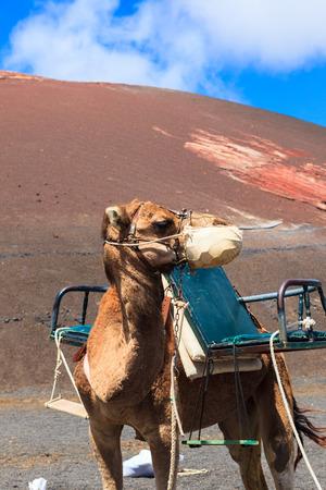 Camels in Timanfaya National Park on Lanzarote.