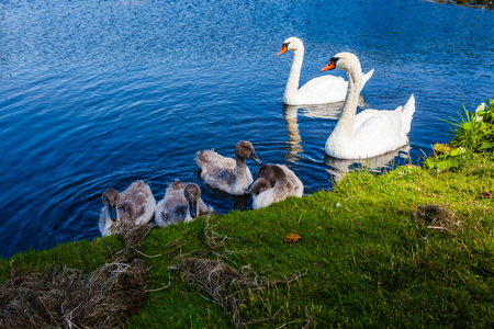 Swan family enjoying themselves in the water.
