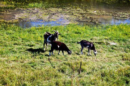 he goat: goats Stock Photo