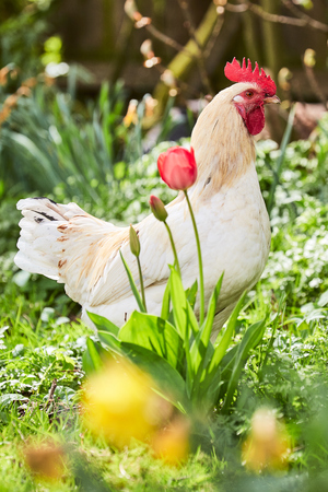 Cock between flowers