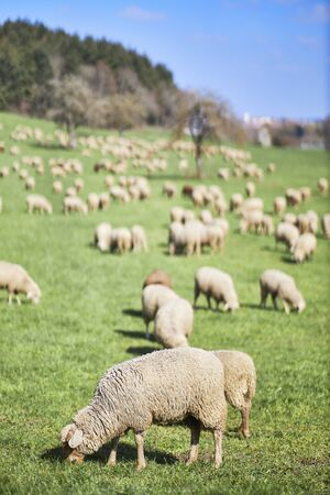 Grazing sheep of a wandering herd on a pasture in the Bodensee district.