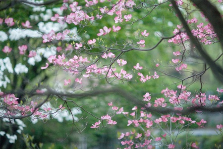 backgrounds: Background of Blooming Cherry Blossoms