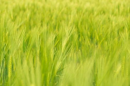 Centeno campo en Alemania rural Foto de archivo - 29478630