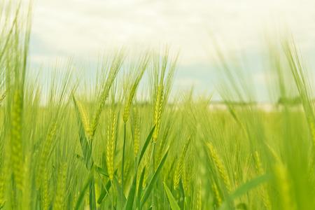 Rye-Feld in ländliche Deutschland Standard-Bild