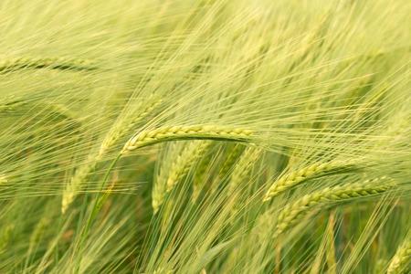 Centeno campo en Alemania rural Foto de archivo - 29478635