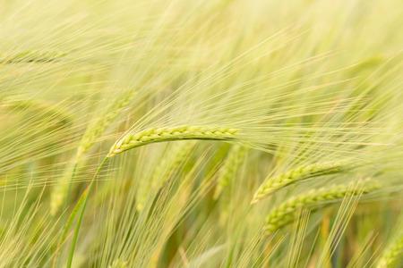 Rye Field im ländlichen Deutschland Standard-Bild