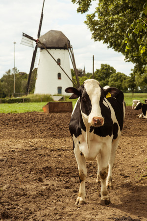 Holstein Cow on the Lawn of a Farm in Germany Standard-Bild