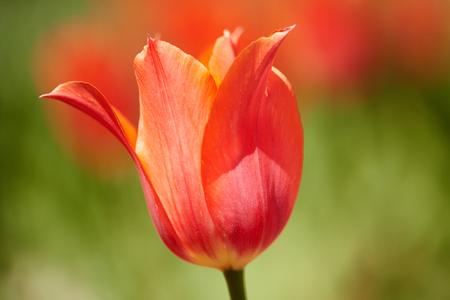 Nahaufnahme eines roten Tulpe Standard-Bild