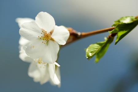 Primer plano de una flor de cerezo en frente de un cielo azul Foto de archivo - 41262833