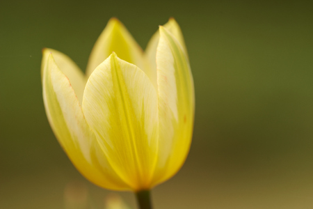 Close-Up of a Yellow Tulip