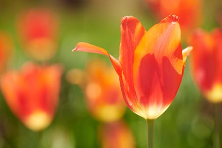 Primer plano de un tulipán rojo Foto de archivo - 41262869