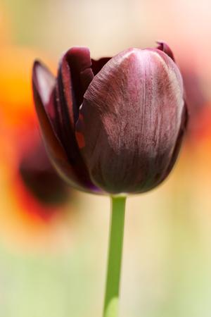 Close-up von einem violetten Tulip