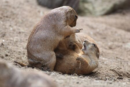 Two prairie dogs fighting against each other Imagens