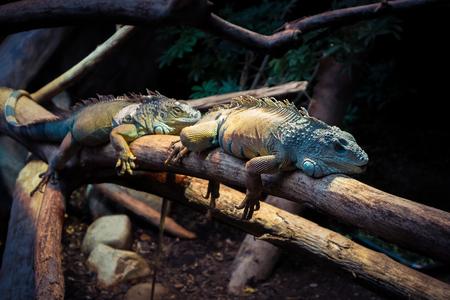 iguana: Relaxing Iguana