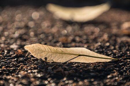 tilo: Linden Leaf