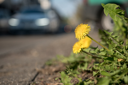 Dandelions in front of a busy road
