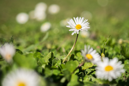 marguerite: Common daisies on a green meadow