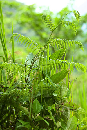 brake fern: Fern plant close to the small town of Rio Verde in Central Ecuador Stock Photo