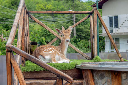 A young deer poses on a wooden platform on the roof.