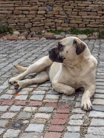 Portrait of a Cane Corso dog lying on the cobblestones.