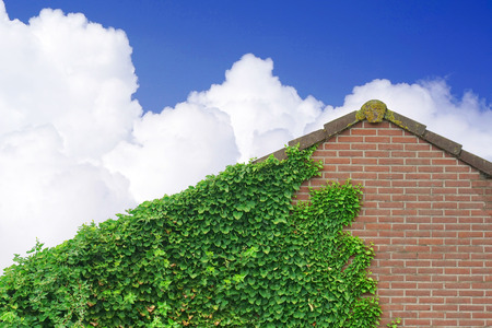 Garden Wild Grapes With Autumn Leaves On red Brick Wall on the blue sky with clouds background. Wild grape on the wall of an old building. Wild grapes on old brick wall as background Stock Photo